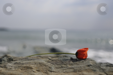 Red poppy stock photo, Red poppy near the sea by Dragos Iliescu