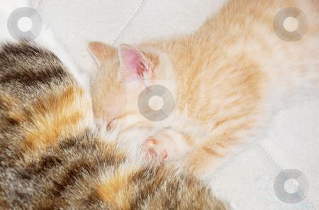 Kitten sucking milk stock photo, Cute yellow kitten falling asleep while sucking milk from mother breast. by Ivan Paunovic
