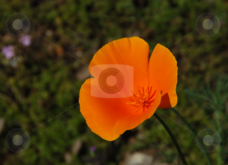 California poppy - Eschscholzia californica stock photo, California poppy (Eschscholzia californica) with blurry green background by Denis Radovanovic