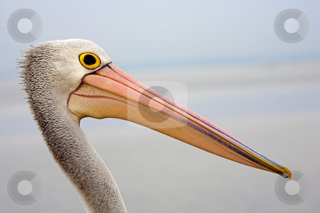 Pelican Profile stock photo, An Australian Pelican in profile view. by Mike Dawson