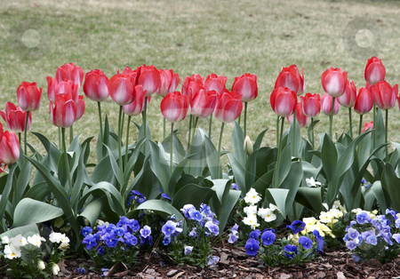 Row of Tulips stock photo, Freshly blooming tulips in the spring. by Darryl Vest
