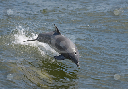 Dolphin stock photo, A dolphin jumping out of the water on the Alabama gulf coast. by Darryl Vest