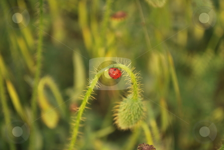 Lady Bug stock photo, Photo of lady bug on a green plant by Tudor Antonel adrian