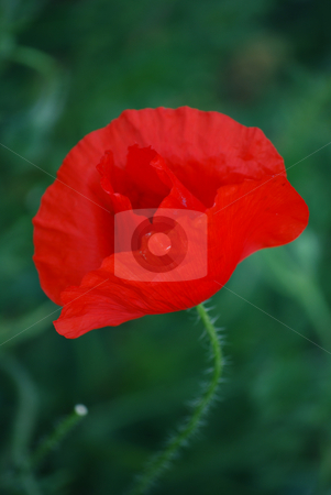 Corn poppy stock photo, Corn poppy by Sarka
