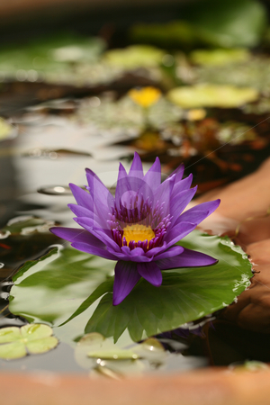 Image of Lotus in Reflective Water stock photo, Vertical Image of Lotus in Reflective Water With Extreme Depth of Field by Katrina Brown