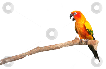 Sun Conure Parrot Screaming on a Branch stock photo, Sun Conure Parrot Screaming on a Branch With Copy Space on White Background For Easy Extraction by Katrina Brown