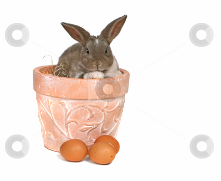 Adorable Pet Grey Rabbit With Eggs in a Pot stock photo, Cute Pet Rabbit Sitting in a Pot With Eggs by Katrina Brown