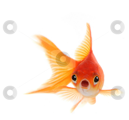 Shocked Goldfish Isolated on White Background stock photo, Goldfish With Shocked Look on His Face. Illustrates Concept of Surprise, Trouble or Worry by Katrina Brown