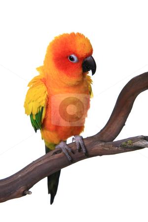 Puffy Sun Conure Parrot Bird stock photo, Puffy Sun Conure Parrot Bird on a Perch by Katrina Brown