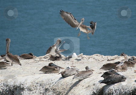 Wild Pelicans on a Cliff Communicating stock photo, Wild Pelicans on a Cliff With One Returning to the Habitat by Katrina Brown