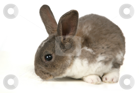 Cute Grey Pet Rabbit stock photo, Pet Rabbit Sitting on a White Background by Katrina Brown
