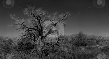 Infared Monochrome Image of a Tree in the Brush stock photo, Infared Monochrome Image of a Lone Leafless Tree in the Brush by Katrina Brown