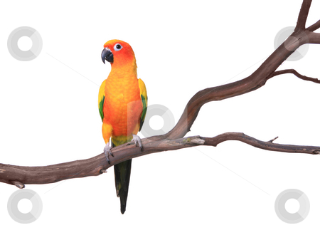 Single Sun Conure Parrot on a Tree Branch stock photo, Sun Conure Parrot on a Tree Branch Isolated on White Background by Katrina Brown