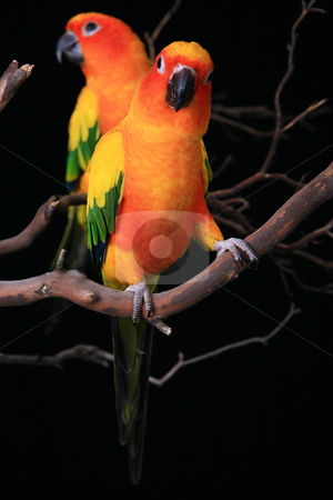 Sun Conure Parrots With One Looking at The Viewer stock photo, Two Perched Sun Conure Parrots With One Looking at The Viewer by Katrina Brown