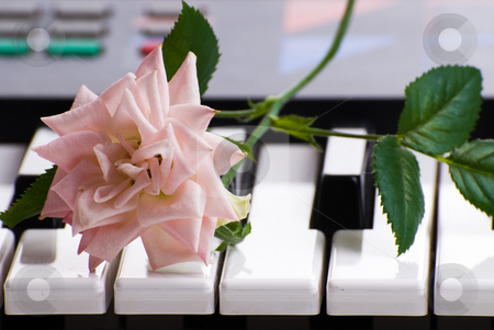 Piano And Rose stock photo, Closeup view of an open rose lying on the keys of an electronic keyboard by Richard Nelson