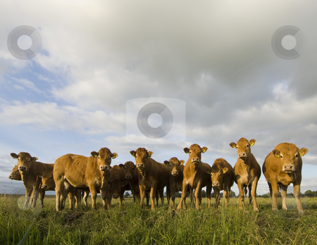 Dutch Cows in a meadow stock photo, A herd of Dutch Cows enjoying the evening sun. by Corepics VOF