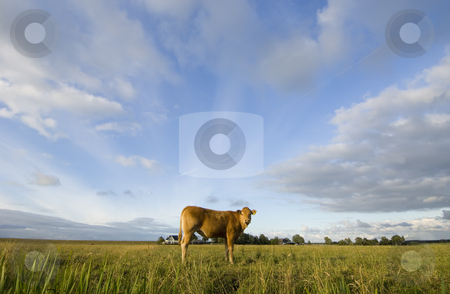 Dutch Cows stock photo, A Brown Cow as center of the universe in the middle of a field, surrounded by clouds. by Corepics VOF