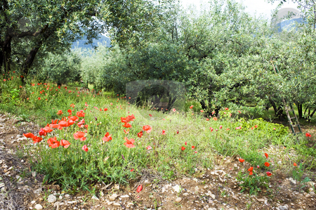 Poppies in an Olive Orchard stock photo, The contrasting red of poppy flowers in an olive orchard during pruning season by Corepics VOF
