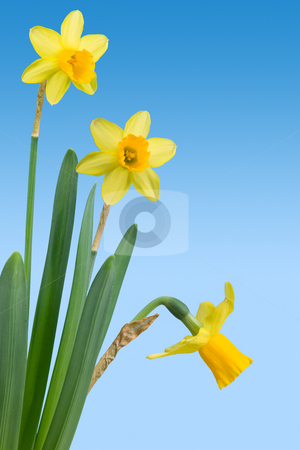 Spring stock photo, An arrangement of daffodils (narcissus) with clipping path by Corepics VOF