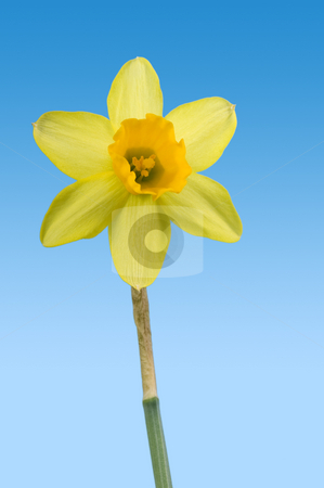 Spring stock photo, A singled out daffodil on a blue background with clipping path by Corepics VOF