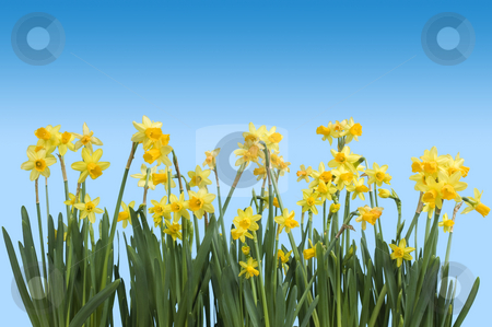 Spring stock photo, Daffodils against a blue background, with clipping path, illustrating Spring by Corepics VOF