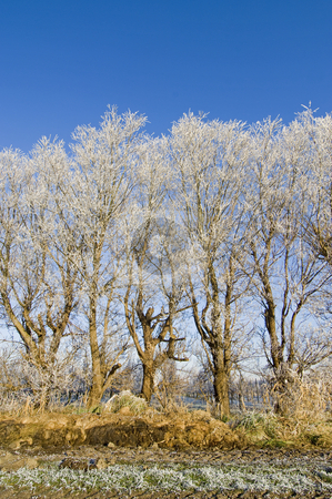 Hoarfrost stock photo, A line of hoar frosted trees, surrounding an appel orchard by Corepics VOF