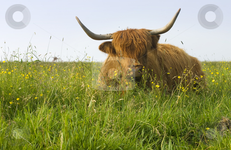Long haired cow stock photo, A long haired cow with big pointy horns in the middle of a spring meadow by Corepics VOF