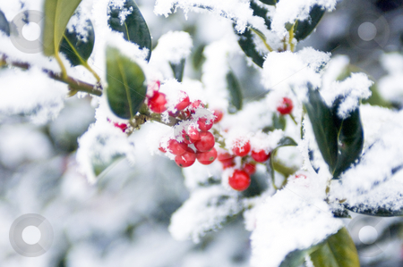European Holly stock photo, Snow covered european holly by Corepics VOF
