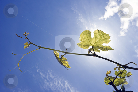Grape Vine stock photo, Twigs of a grape vine, backlit by the sun on a summer afternoon, with the fresh grapes forming and growing. by Corepics VOF