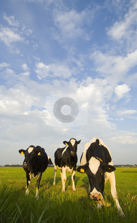 Dutch Cattle stock photo, Three Typical Dutch cows in a meadow on a beautiful afternoon, munching the fresh grass by Corepics VOF