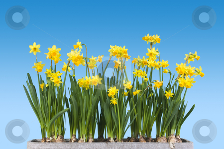 Spring stock photo, Spring theme: Daffodils in a pot by Corepics VOF