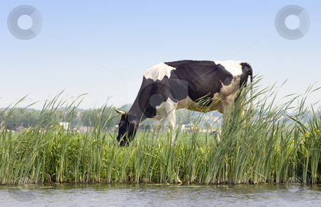 Dutch Cow stock photo, A Dutch cow grazing along a chanal on a dyke with a rural scene in the background by Corepics VOF