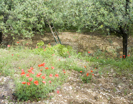 Poppies and Olives stock photo, The contrasting red of poppy flowers in an olive orchard during pruning season in the Vaucluse, France by Corepics VOF