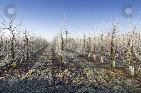 Winter Orchard stock photo, Orchard entrance in the winter, with hoarfrost covered trees by Corepics VOF