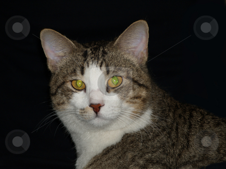 Cat 12 stock photo, Handsome cat over black background by Jose .