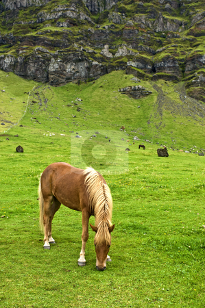Iclandic horse stock photo, The Icelandic horse has been bred for centuries without the addition of outside bloodstock. They are pony sized. by Corepics VOF