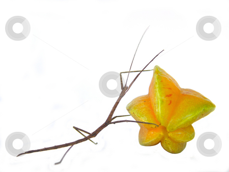Stick insect carrying a starfruit stock photo, Stick and Star CARRY by Jose .