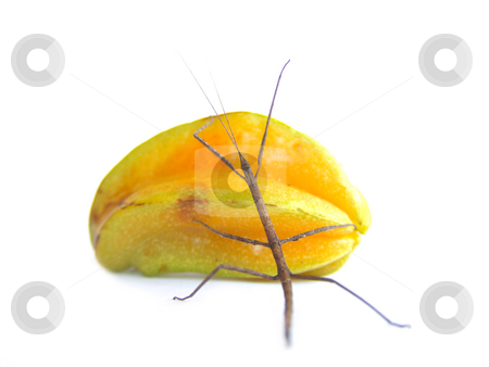 Stick and Star ROLL stock photo, Stick insect rolling a starfruit by Jose .