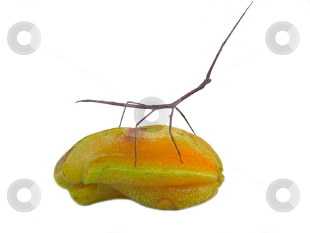 Stick and Star RIDE stock photo, Stick insect riding a starfruit by Jose .