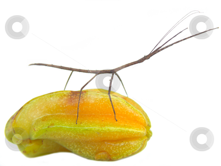 Stick and Star SURF stock photo, Stick insect surfing starfruit by Jose .