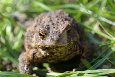 Toad stock photo, Big  brown toad sitting on green grass by Jolanta Dabrowska