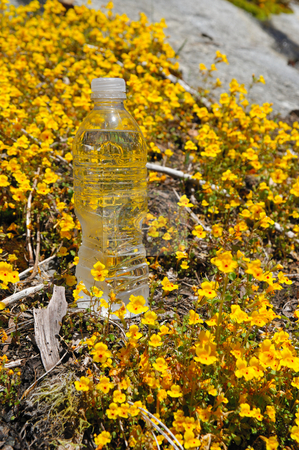 Chilled Bottled Water stock photo, One bottle of cold water sitting in a field of yellow wildflowers by Lynn Bendickson