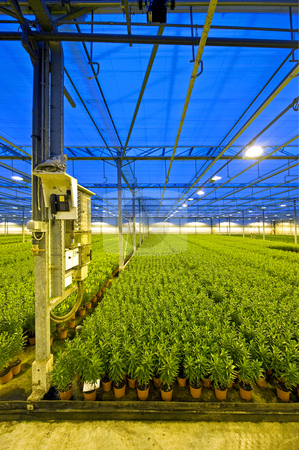 Lily horticulture stock photo, A fuse box and telephone post in a huge glasshouse growing endless rows of lilies. Drapes are covering the glass roof of the greenhouse to prevent light polution by Corepics VOF
