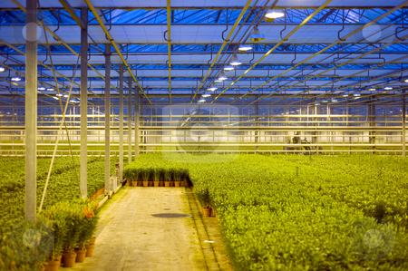 Lily Horticulture stock photo, A huge glasshouse cultivating lilies at dusk, with the blinds being opened to prevent environmental damage by the emitted light by Corepics VOF