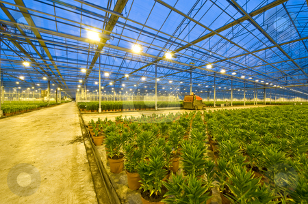 Lily Horticulture stock photo, A huge glasshouse with the wide transport lanes trough the fields of potted lilies at night by Corepics VOF