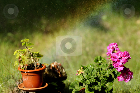 Beautiful flower stock photo, Colored flowers in beautiful garden by Dragos Iliescu