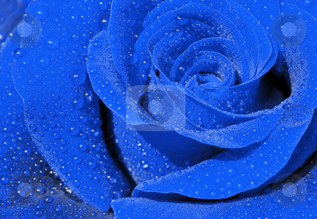 Blue rose stock photo, Close-up of a blue rose with droplets. by Ivan Paunovic