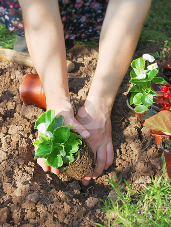 Planting wax begonia stock photo, Woman planting wax begonia in the garden. by Ivan Paunovic