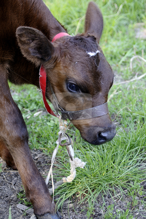Baby cow stock photo, Close-up with baby cow by Dragos Iliescu
