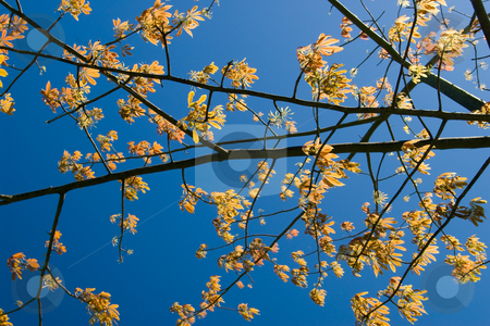 Backlit Tree Branches stock photo, Backlit tree branches against deep blue sky. by Steve Carroll